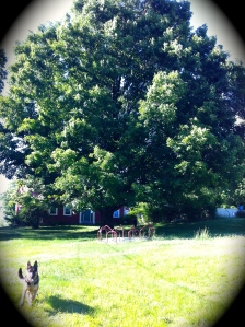 Our beautiful 100+ Maple Tree (and Rue).