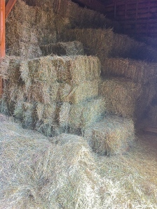 Each day starts off with lots of hay. It is used to feed most of the animals.