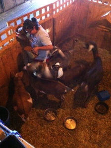 First thing we do is feed all the animals while in the barn. Here are the goats.