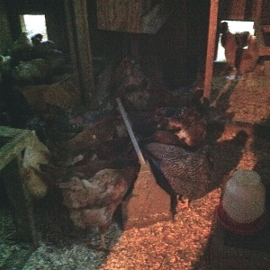 After the barn, we head to  the hen house to feed all the chickens :)