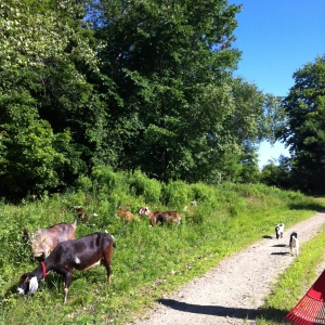 Then the goats are let out to graze the farm grass as well. :)
